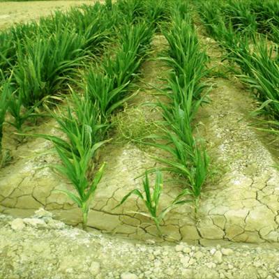 الگوی کاشت مناسب اراضی شور