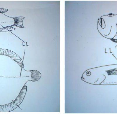 اندام های حسی در ماهیان