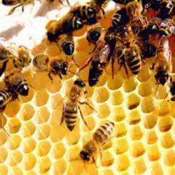 کلونی زنبور عسل
