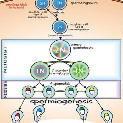 پروسه تولید اسپرم