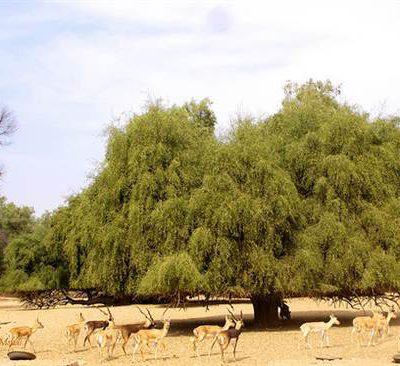 درخت مسواک