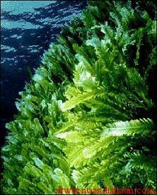 جلبک سبز