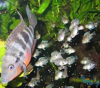 رفتار تولیدمثلی ماهیان