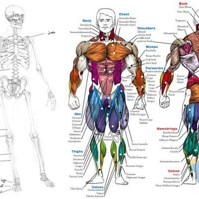 جزوه دستگاه اسکلتی عضلانی