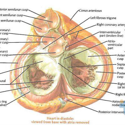 جزوه دستگاه قلب و عروق