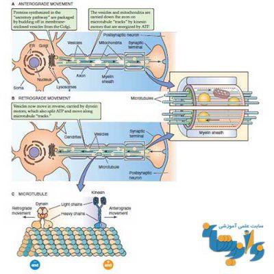 جزوه فیزیولوژی دستگاه اعصاب مرکزی