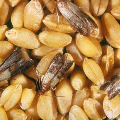 حشرات فرآوردههای انباری
