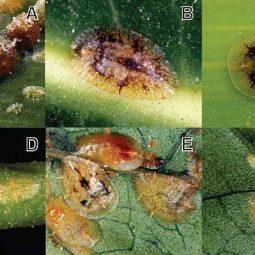 شپشک های گیاهی مرکبات